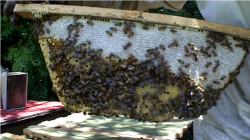Beekeeping using Top Bar hive