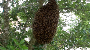 Swarm Traps can catch swarms with little effort.