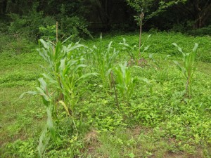 The no-till corn patch is not as high as its raised bed neighbor.