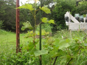 The far left grapevine in the most sun is doing well.